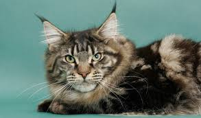 What Is The Average Life Span Of A Maine Coon Cat Maine Coon Expert