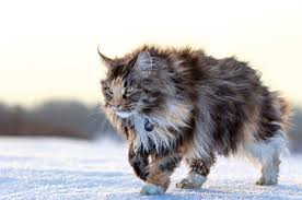 Common Maine Coon Cat Allergies