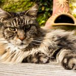 What Can Cause Stress In Your Maine Coon Cat?