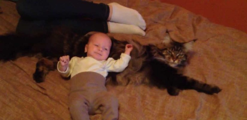 a maine coon with a baby