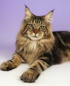 How To Choose A Good Maine Coon Breeder Maine Coon Expert