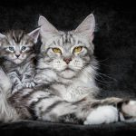 How To Choose A Good Maine Coon Breeder