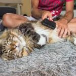 How To Pick Grooming Tools For Your Maine Coon
