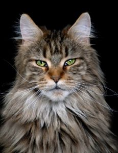 Where to Buy a Maine Coon Cat - Maine Coon Expert