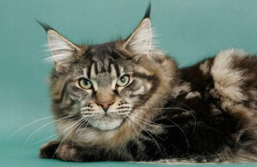 What Price Factors Affect The Cost Of A Maine Coon?