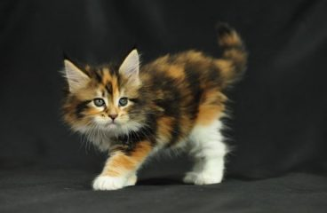 Where to Buy a Maine Coon Cat