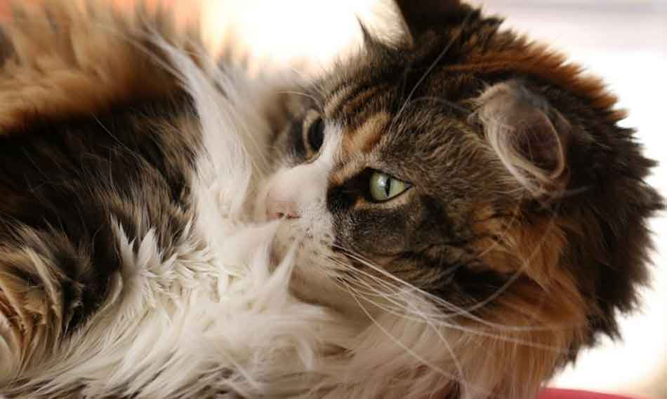 a maine coon licking their coat