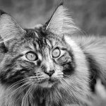 What Is The Average Life Span Of A Maine Coon Cat