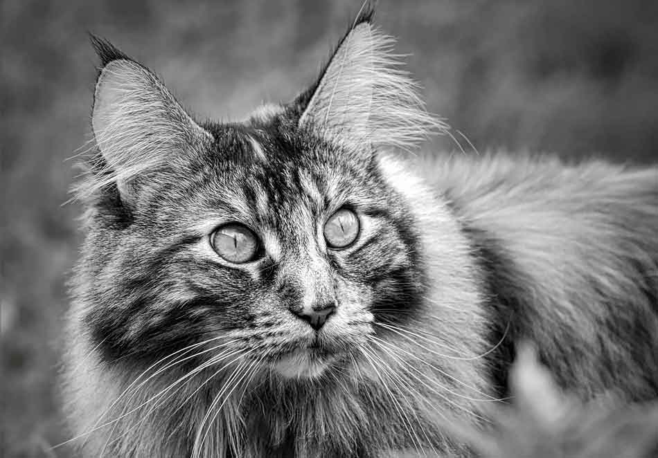 a black and white close up of a maine coon