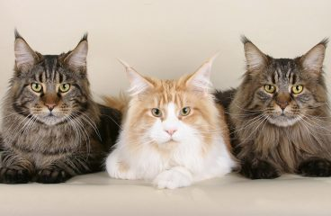 The Lifetime Cost Of A Maine Coon Cat