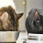 What's The Best Diet For Your Maine Coon Cat
