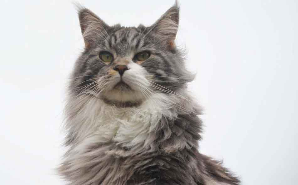 a close up of a grey maine coon