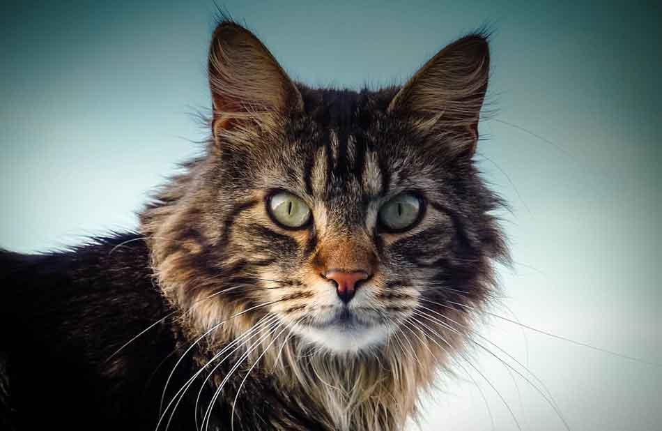 a maine coon profile photo