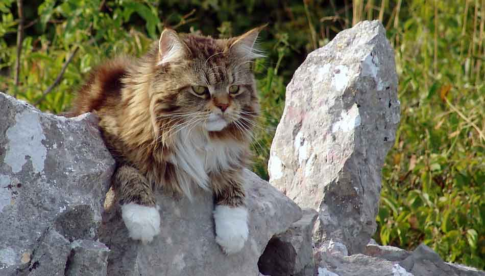 a maine coon outdoors on a rock