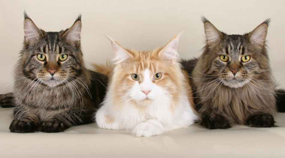 3 maine coons lying next to each other