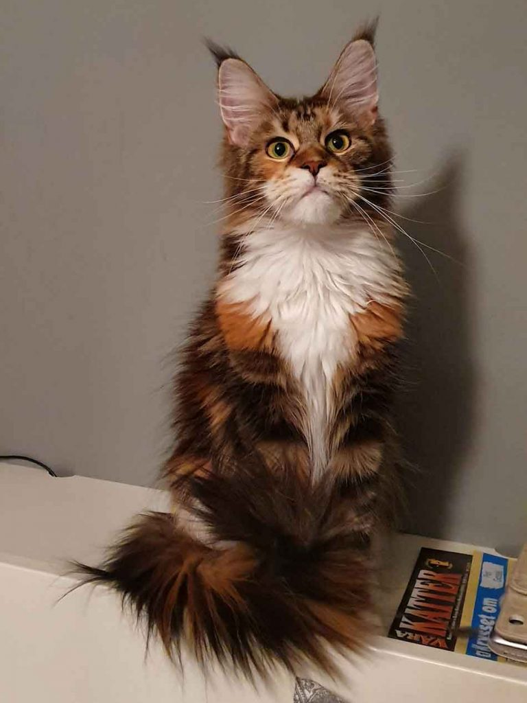 a maine coon standing on a couch