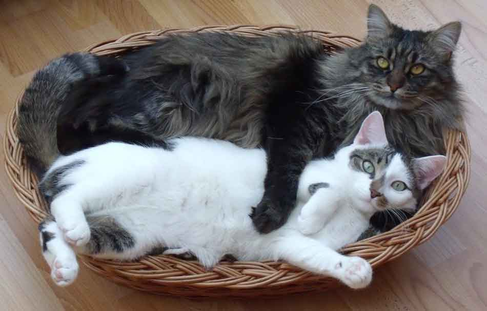 a maine coon in a bed with another cat