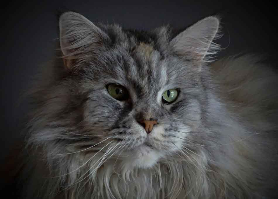 a close of a maine coons head