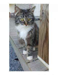 Where to Find Free or Low Cost Maine Coon Kittens - Maine Coon Expert