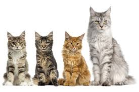 Some Fun Facts About Maine Coon Cats
