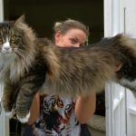 The Maine Coon Size Compared To A Normal Cat