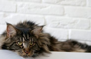 How To Check The Health Of Your Maine Coon?