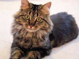 How To Identify a Maine Coon Cat - Maine Coon Expert