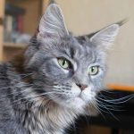 How To Identify A Maine Coon Cat