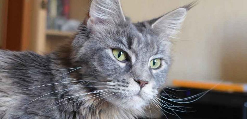 facial image of a maine coon cat
