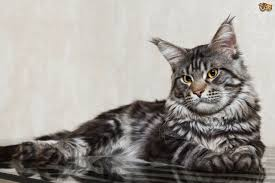 Can A Maine Coon Be An Indoor Cat