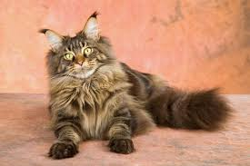 40 Tests To Check The Intelligence Of Your Maine Coon