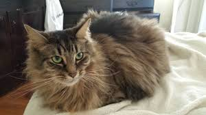 Differences and Similarities Between the Domestic Longhair vs. Maine Coon