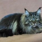 Do Maine Coon Cats Shed?