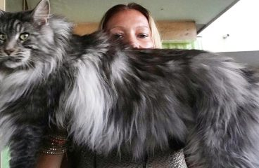 What is the Average Weight of a Maine Coon