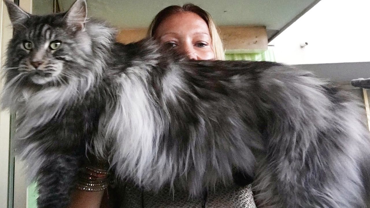 What Is The Average Weight Of A Maine Coon Maine Coon Expert