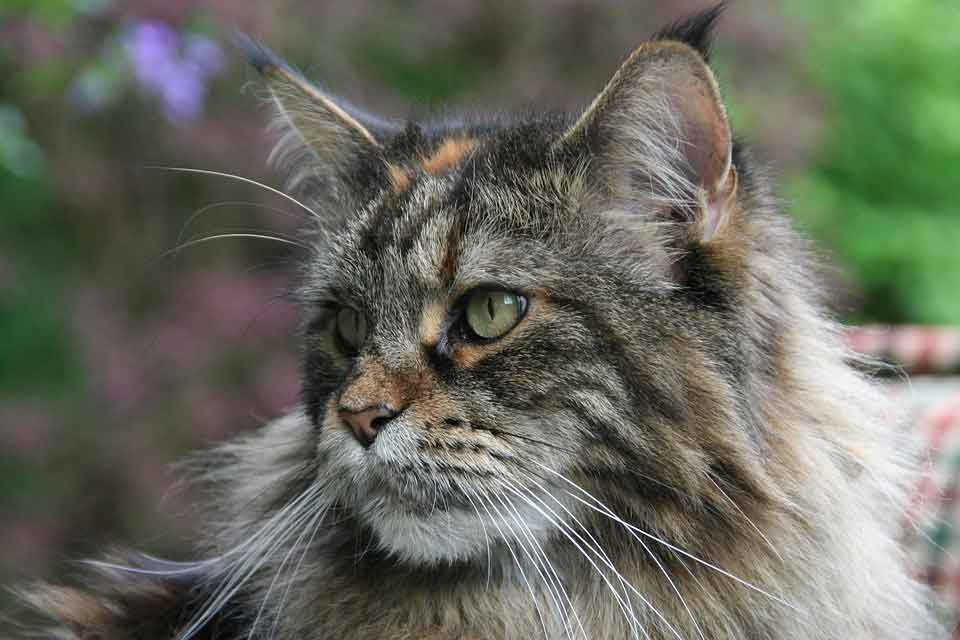 a maine coon close up of the head