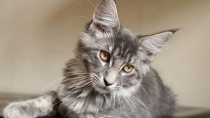 Maine Coon ill