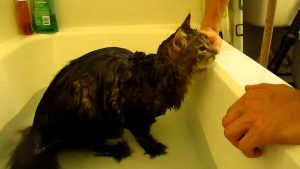 Maine Coon bath