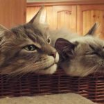 Can Maine Coon Cats Live With Other Cats