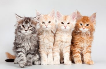 The Range Of Maine Coon Cat Colors