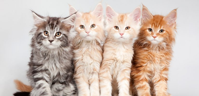 Maine Coon color