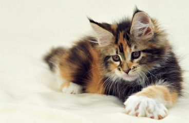 How Much do Maine Coons Cost – 19 Examples of Advertised Prices