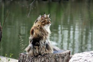 How Much do Maine Coons Cost – 19 Examples of Advertised