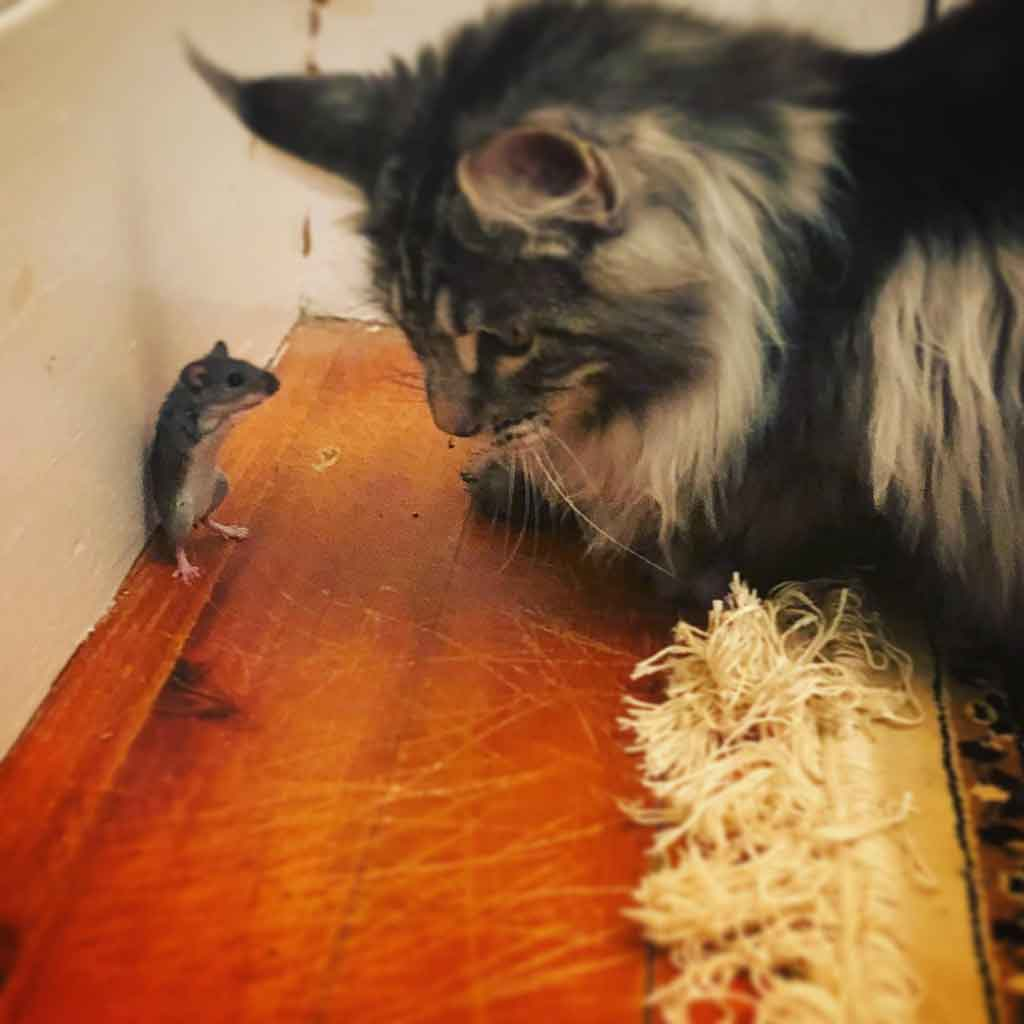 Maine Coon and mouse