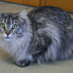 Male vs Female Maine Coons - Which Gender Is Better For You?