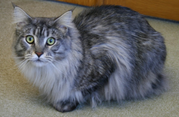 Male vs Female Maine Coons – Which Gender Is Better For You?