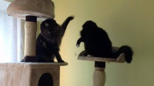 Maine Coon grooming catfight