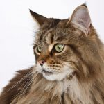 What Are Common Maine Coon Health Issues?