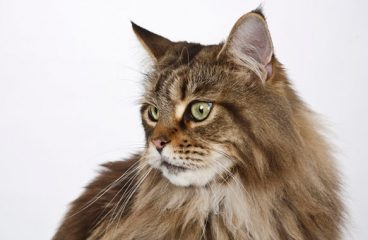 What Are Common Maine Coon Health Issues