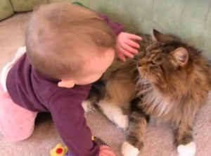 Maine Coon child